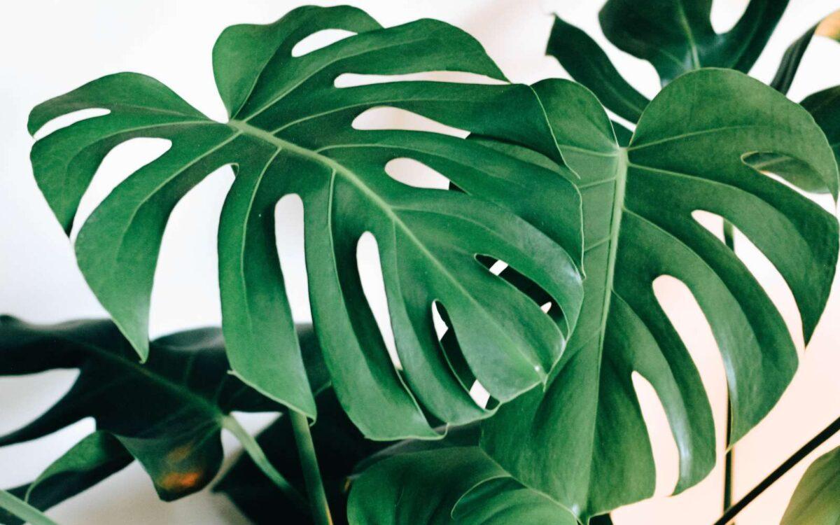 pianta verde a foglie larghe per ufficio